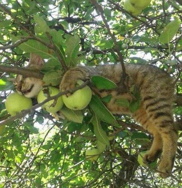 Bộ ảnh chứng minh nếu ngủ trên cây là nghệ thuật, thì bọn mèo là những nghệ sĩ đích thực - Ảnh 22.