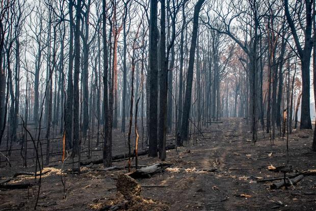 Năm 2020 hoang tàn của người Úc: Chưa kể đại dịch, trận cháy rừng đại thảm họa hồi đầu năm đã khiến gần 3 TỈ sinh vật khốn khổ - Ảnh 3.