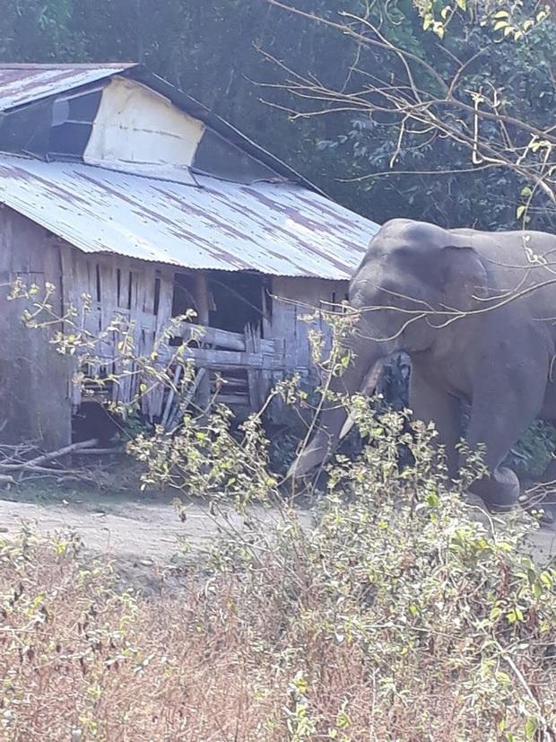 Đàn voi rừng quậy phá khu dân cư Đồng Nai bất chấp hàng rào điện - Ảnh 2.