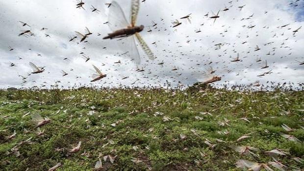Dùng biện pháp tàn độc nhất để đại chiến cả nghìn tỉ con châu chấu, chuyên gia cảnh báo hậu quả khôn lường - Ảnh 1.