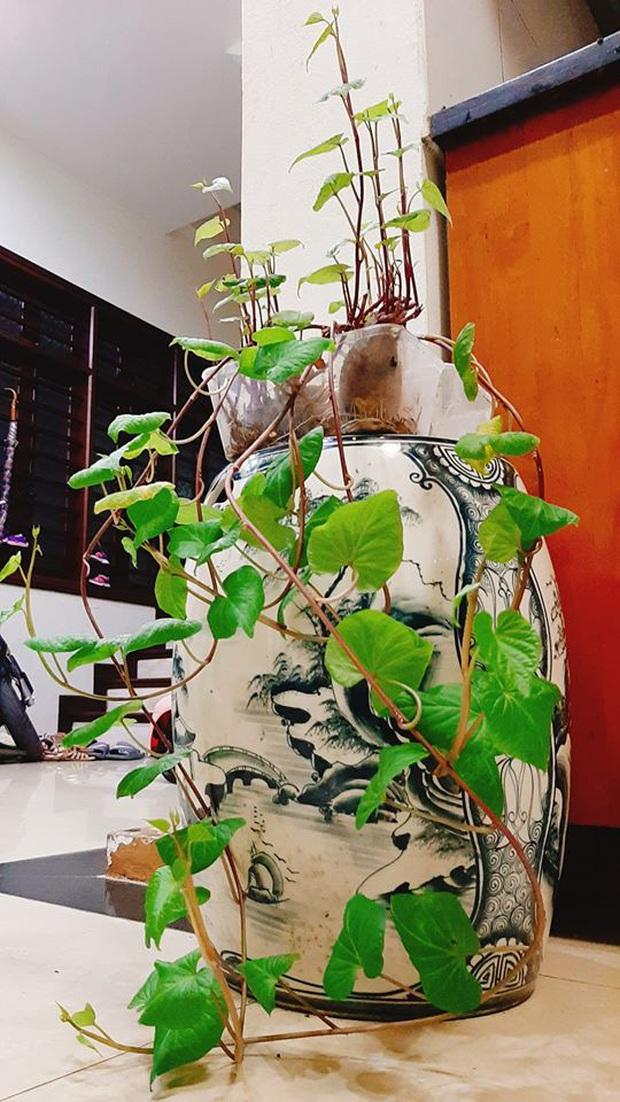Hè này muốn đu trend chơi bonsai, tốn tiền mua cây làm gì khi tất cả bạn cần chỉ là một củ khoai lang - Ảnh 7.