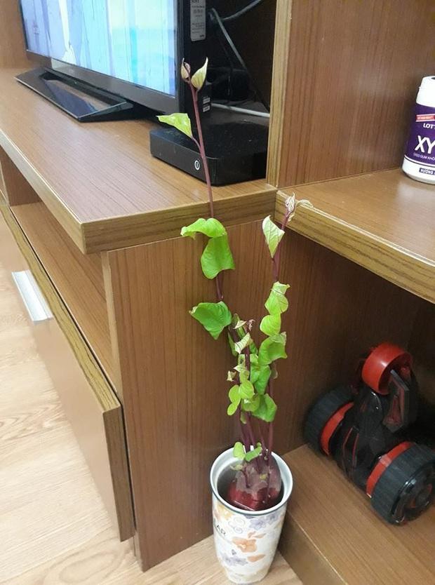 Hè này muốn đu trend chơi bonsai, tốn tiền mua cây làm gì khi tất cả bạn cần chỉ là một củ khoai lang - Ảnh 9.