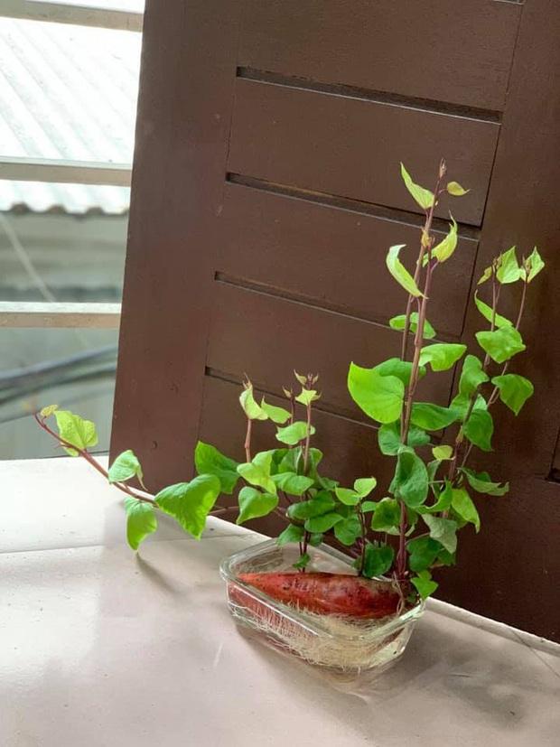 Hè này muốn đu trend chơi bonsai, tốn tiền mua cây làm gì khi tất cả bạn cần chỉ là một củ khoai lang - Ảnh 13.