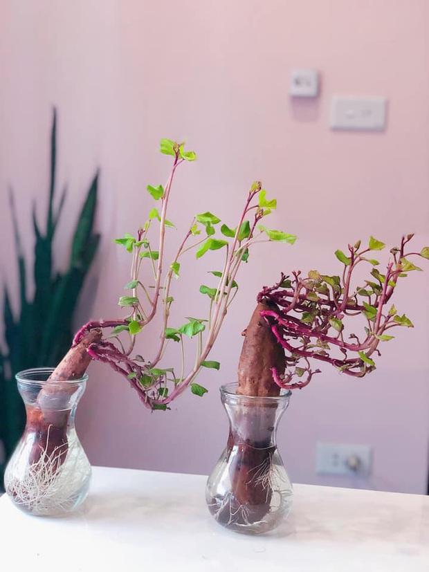 Hè này muốn đu trend chơi bonsai, tốn tiền mua cây làm gì khi tất cả bạn cần chỉ là một củ khoai lang - Ảnh 17.