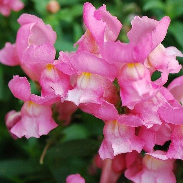 Loài hoa có hình đầu rồng màu hồng tuyệt đẹp nhưng khi tàn lại biến thành đầu lâu đáng sợ gắn liền với nhiều giả thiết bí ẩn - Ảnh 3.