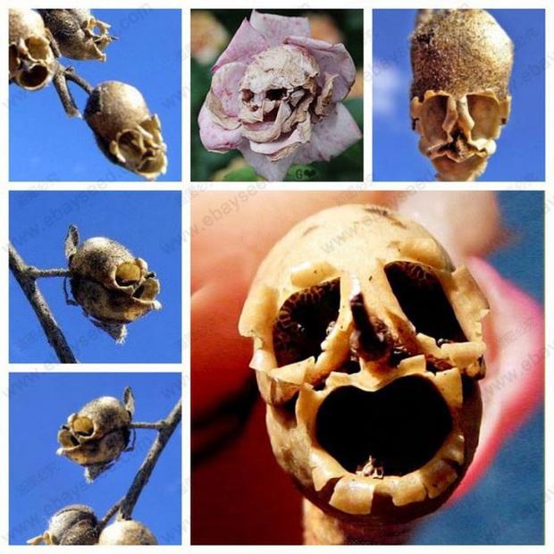 Loài hoa có hình đầu rồng màu hồng tuyệt đẹp nhưng khi tàn lại biến thành đầu lâu đáng sợ gắn liền với nhiều giả thiết bí ẩn - Ảnh 4.