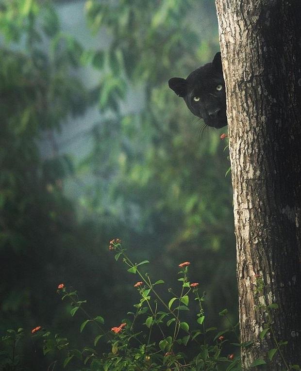 Hình ảnh bắt ngay khoảnh khắc báo đen hoang dã núp mình săn mồi với ánh mắt bí ẩn đẹp đến mê hoặc gây bão MXH - Ảnh 2.