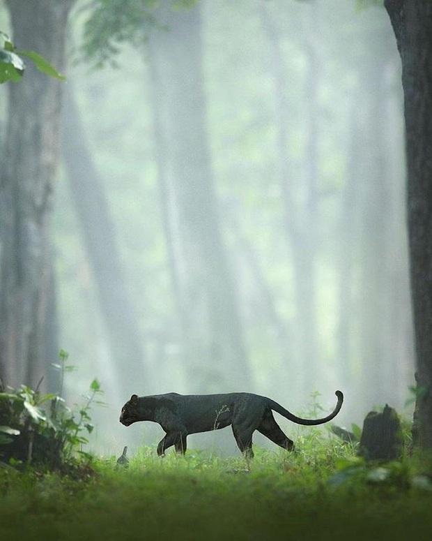 Hình ảnh bắt ngay khoảnh khắc báo đen hoang dã núp mình săn mồi với ánh mắt bí ẩn đẹp đến mê hoặc gây bão MXH - Ảnh 1.
