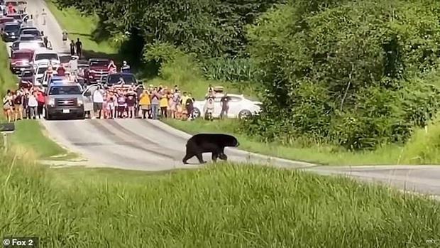 Gấu đen đi bộ hơn 600 km dọc nước Mỹ để tìm bạn tình thu hút sự chú ý của MXH, nhiều người dân ra đứng ven đường cổ vũ như siêu sao - Ảnh 1.