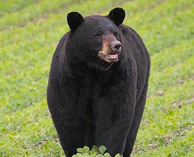 Gấu đen đi bộ hơn 600 km dọc nước Mỹ để tìm bạn tình thu hút sự chú ý của MXH, nhiều người dân ra đứng ven đường cổ vũ như siêu sao - Ảnh 2.