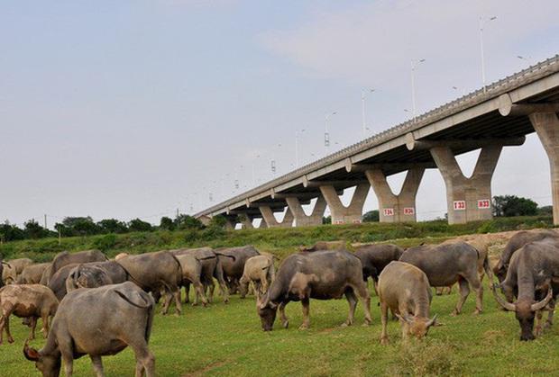 12 quận nội thành Hà Nội không được phép chăn nuôi gia súc, gia cầm - Ảnh 1.