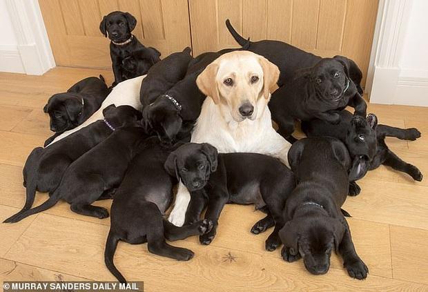 Chó mẹ lông vàng nhưng lại sinh được 13 chú cún con đen sì, chủ nhân vừa vui vừa khóc thầm vì cả đám ăn nhiều quá - Ảnh 1.