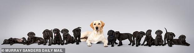 Chó mẹ lông vàng nhưng lại sinh được 13 chú cún con đen sì, chủ nhân vừa vui vừa khóc thầm vì cả đám ăn nhiều quá - Ảnh 2.