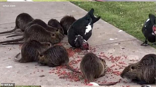 Đàn chuột khổng lồ bất ngờ xâm chiếm công viên Mỹ, cảnh tượng khiến người dân đến gần phải hoảng hồn - Ảnh 1.