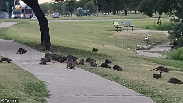 Đàn chuột khổng lồ bất ngờ xâm chiếm công viên Mỹ, cảnh tượng khiến người dân đến gần phải hoảng hồn - Ảnh 2.