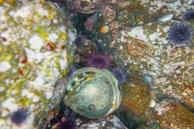 Những sự thật thú vị về bào ngư - con vật hot nhất MXH hôm nay - Ảnh 2.
