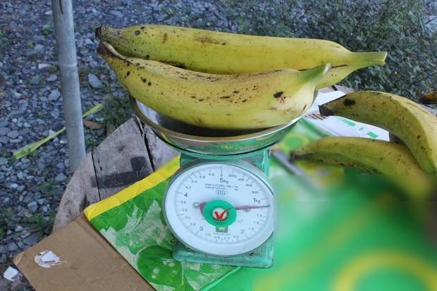 """Ngỡ ngàng trước giống chuối """"siêu to khổng lồ"""" đặc biệt tại Việt Nam, mỗi quả nặng gần 1kg giá chỉ 9.000 đồng/quả - Ảnh 2."""