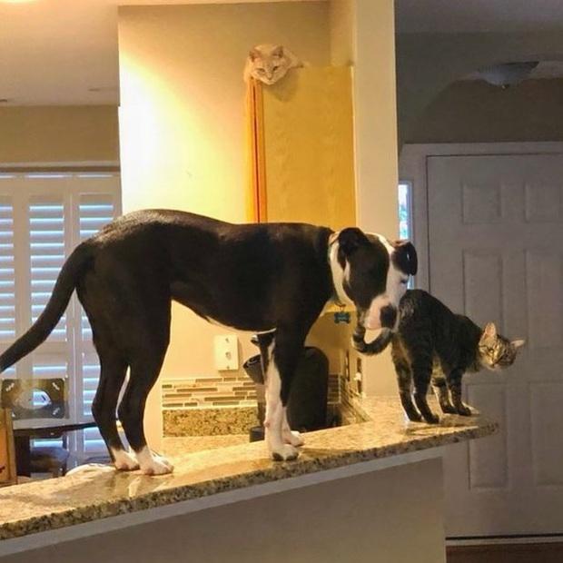 """Chú chó tin mình là mèo, leo trèo khắp nhà rồi phi lên cả nóc tủ lạnh chỉ để tụ tập cùng với """"đồng loại"""" - Ảnh 1."""