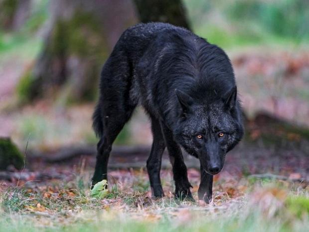 19 chú động vật hắc ám nhìn chẳng khác gì sứ giả của bóng đêm - Ảnh 17.