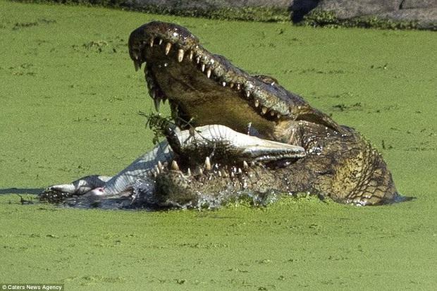 Chú cá sấu tấu hài khắp Internet với vũ điệu lạc trôi, thu hút 8 triệu lượt xem chỉ sau một ngày lên sóng - Ảnh 1.