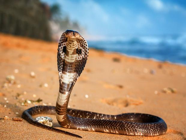Sự thật về viên ngọc kỳ lạ trên đầu rắn hổ mang chúa có thể cứu mạng người: Có kỳ diệu như dân gian truyền miệng? - Ảnh 1.