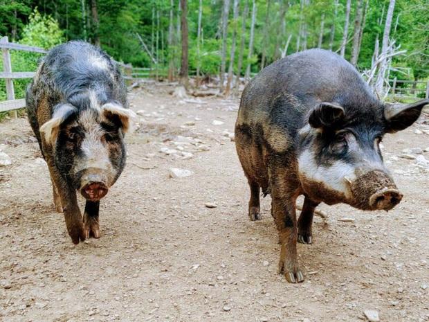 Chú lợn lông xù giống hệt con cừu nhưng tính cách thì như một con chó - Ảnh 3.