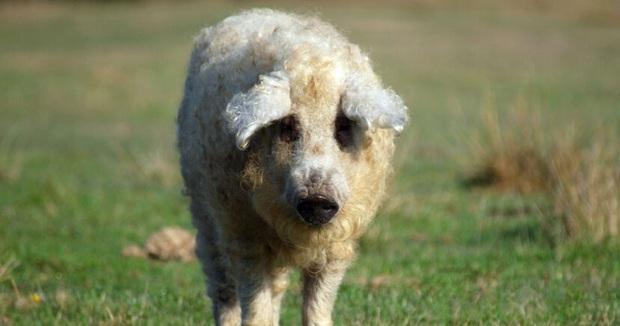 Chú lợn lông xù giống hệt con cừu nhưng tính cách thì như một con chó - Ảnh 4.