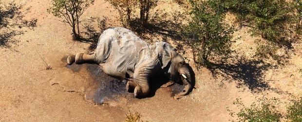 Vụ án thảm họa bảo tồn khiến hàng trăm con voi chết hàng loạt cuối cùng đã xuất hiện manh mối - Ảnh 1.
