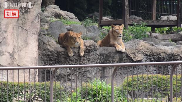 Sư tử thật ngán ngẩm ngồi nhìn sư tử fake xổng chuồng tại sở thú Nhật bản - Ảnh 4.