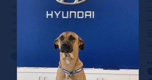 Showroom Hyundai nhận chó hoang vào làm việc, bao ăn ở và thăng chức 2 lần trong 3 tháng - Ảnh 1.