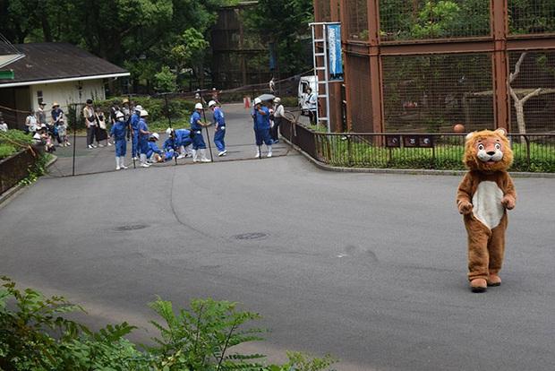 Sư tử thật ngán ngẩm ngồi nhìn sư tử fake xổng chuồng tại sở thú Nhật bản - Ảnh 1.