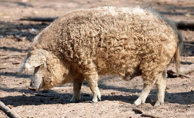 Chú lợn lông xù giống hệt con cừu nhưng tính cách thì như một con chó - Ảnh 5.
