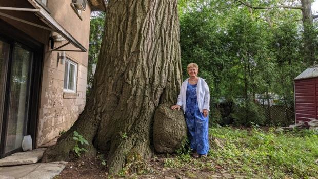 Cây sồi già có tuổi đời gấp đôi quê hương Canada, được người dân bảo kê tận tình không cho ai quấy nhiễu - Ảnh 5.