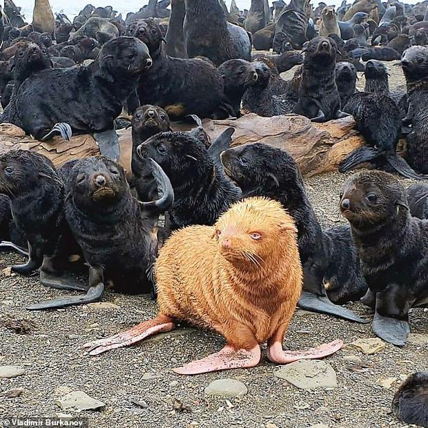 Câu chuyện Vịt con xấu xí: Chú hải cẩu có màu lông hiếm gặp với tỷ lệ 1/100.000 nhưng lại có nguy cơ bị đồng loại hắt hủi - Ảnh 1.