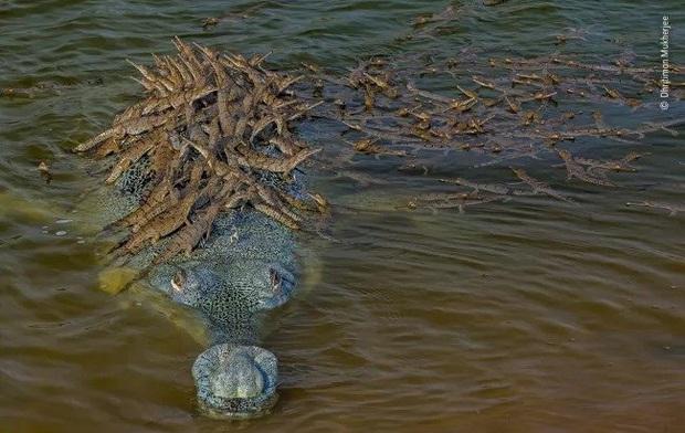 Sự thật bất ngờ đằng sau bức ảnh ông bố cá sấu shipper chở hàng trăm con non: Thân trai 12 bến nước là đây - Ảnh 1.
