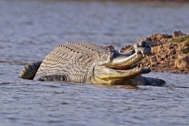 Sự thật bất ngờ đằng sau bức ảnh ông bố cá sấu shipper chở hàng trăm con non: Thân trai 12 bến nước là đây - Ảnh 2.