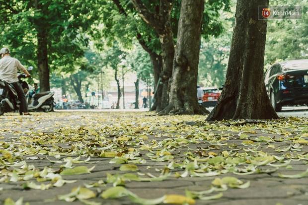 Con đường cây huyền thoại ở Hà Nội lại phủ đầy lá vàng rồi, phải chăng là mùa thu sắp về? - Ảnh 6.
