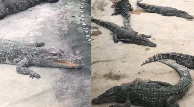 """Người đàn ông khiếu nại sở thú dùng cá sấu giả để kiếm tiền, đại diện tuyên bố """"giả 1 đền 10, cư dân mạng thảo luận sôi nổi - Ảnh 1."""