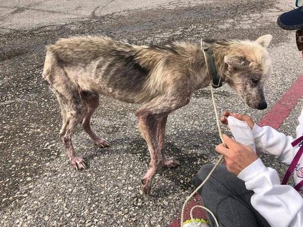 Bị chủ hành hạ bỏ cho chết đói, chú chó husky da bọc xương được cứu sống và lột xác ngoạn mục sau một thời gian ngắn - Ảnh 1.
