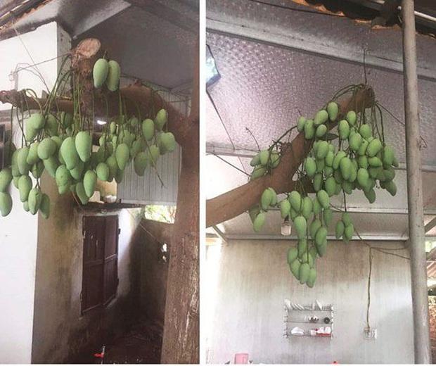 Những bé cây mọc sai trái khiến gia chủ phát bực, nhọc nhằn công chăm sóc mà người hưởng lại là gã hàng xóm lâu năm - Ảnh 13.