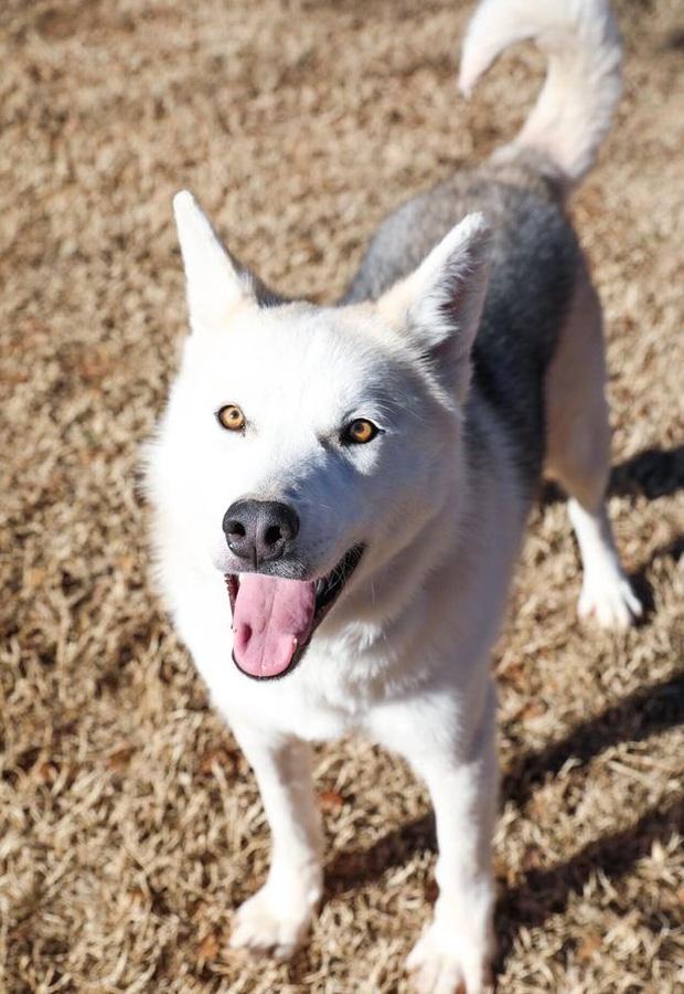 Bị chủ hành hạ bỏ cho chết đói, chú chó husky da bọc xương được cứu sống và lột xác ngoạn mục sau một thời gian ngắn - Ảnh 3.