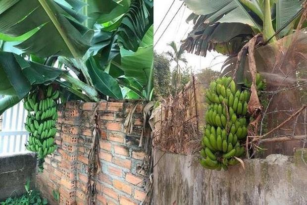 Những bé cây mọc sai trái khiến gia chủ phát bực, nhọc nhằn công chăm sóc mà người hưởng lại là gã hàng xóm lâu năm - Ảnh 6.