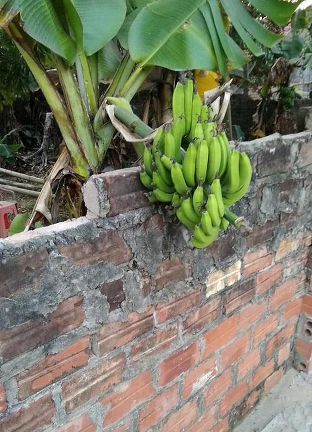Những bé cây mọc sai trái khiến gia chủ phát bực, nhọc nhằn công chăm sóc mà người hưởng lại là gã hàng xóm lâu năm - Ảnh 9.