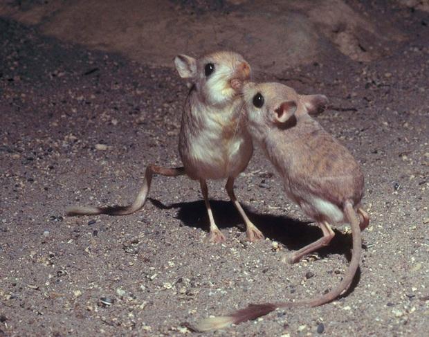 Gặp gỡ giống chuột kỳ lạ trông như kết quả của mối tình sai trái giữa lợn, thỏ và kangaroo - Ảnh 3.