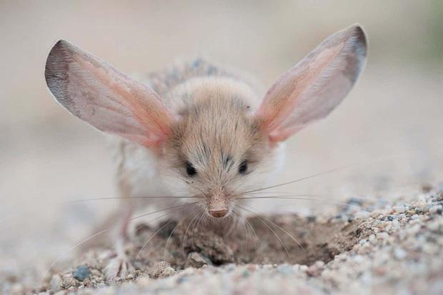 Gặp gỡ giống chuột kỳ lạ trông như kết quả của mối tình sai trái giữa lợn, thỏ và kangaroo - Ảnh 4.