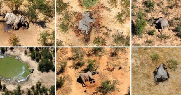 Phát hiện nguyên nhân hàng trăm con voi chết bí ẩn ở châu Phi - Ảnh 1.