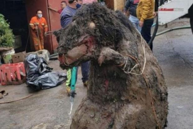 Người phụ nữ chết đuối trong nhà vì ngập lụt, sau khi thông cống phát hiện con chuột khổng lồ cùng hàng tấn rác thải gây tắc cứng - Ảnh 3.
