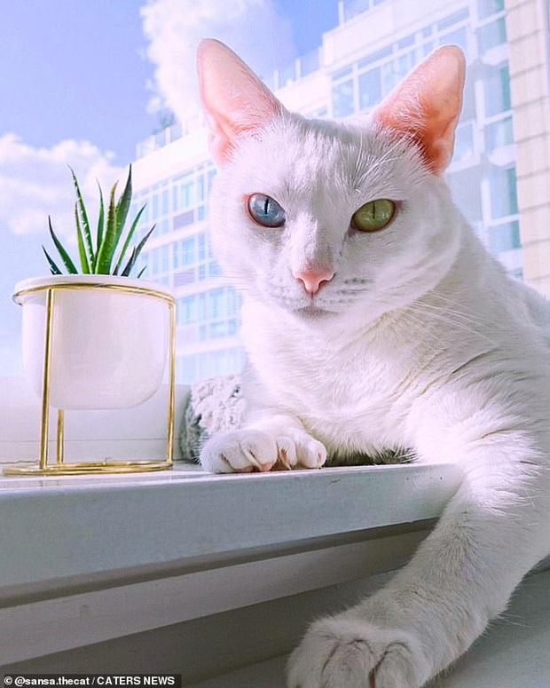 Bị chủ vứt ra đường vì mắt 2 màu và chân có nhiều ngón, cô mèo mắc hội chứng lạ khiến hội yêu động vật thổn thức, đòi nhận nuôi bằng được - Ảnh 1.