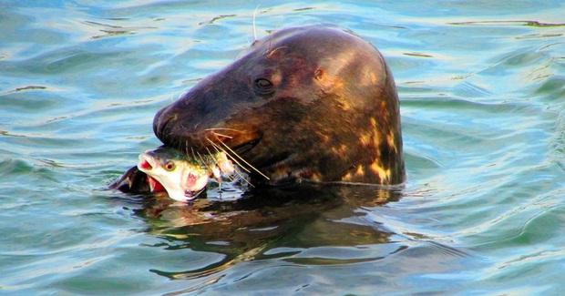 Sammy, chú hải cẩu béo ú thân thiện nhưng ngày 3 bữa vào chợ xin ăn khiến người dân điên đầu - Ảnh 4.
