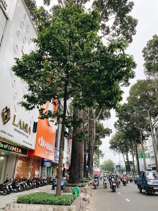 Sau vụ cây xanh bật gốc đè chết người: Vẫn còn nhiều cây đã già cỗi có rễ lộ thiên, nhánh vươn ra mặt đường ở Sài Gòn - Ảnh 17.